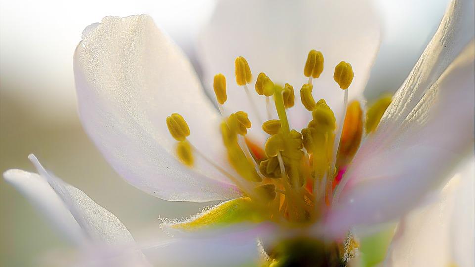 almond-blossom-686588_960_720