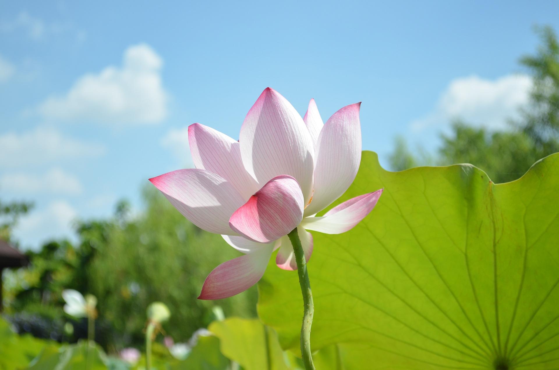lotus-746700_1920